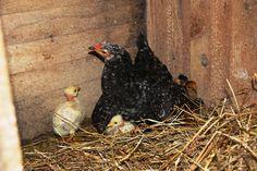 os pintainhos procuram o quentinho da mama galinha