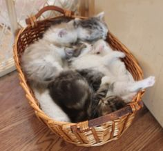 """The """"Lil' Sailors"""" litter sleeping all together in a basket! So cute! Ragamuffin Kittens, Sailors, Adoption, Basket, Cats, Foster Care Adoption, Gatos, Cat, Kitty"""