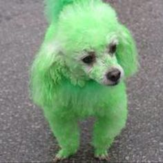 st patrick's day puppies | St Patrick's Day. Poor puppy!