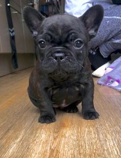 The major breeds of bulldogs are English bulldog, American bulldog, and French bulldog. The bulldog has a broad shoulder which matches with the head. Fawn French Bulldog, French Bulldog Puppies, French Bulldogs, Frenchie Puppies, Cute Puppies, Cute Dogs, Dogs And Puppies, Doggies, Sweet Dogs