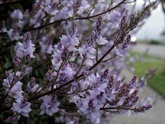 Heliohebe hulkeana Natural History, Pretty Flowers, Garden, Nature, Plants, Beautiful Flowers, Garten, Naturaleza, Lawn And Garden