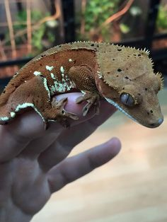 red and cream Dalmatian crested gecko