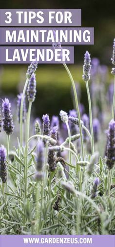 Hydroponics 3 Tips for Growing Lavender - Here are three easy tips for maintaining lavender: find out how to prune your lavender plants, ward off pests and promote blooms. Lavender Plant Care, Growing Lavender, Growing Herbs, Lavender Plants, Lavander, Planting Lavender Outdoors, Lavender Ideas, Lavender Fields, Herb Garden