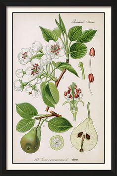Vintage Illustration Vintage Ephemera: botanical plates and illustrations Art And Illustration, Vintage Botanical Prints, Botanical Drawings, Vintage Botanical Illustration, Botanical Flowers, Botanical Art, Illustration Botanique, Pyrus, Kunst Poster