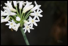 A is for Alba - Tulbaghia simmleri 'Alba' (white society garlic)