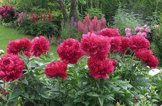 Kas pole tore teada, et just praegu õitsevad pojengid pole mitte ainult silmale ilusad vaadata, vaid toovad su aeda ka hea feng shui!