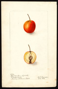 Artist:     Passmore, Deborah Griscom, 1840-1911  Scientific name:     Crataegus  Common name:     hawthorn  Variety:     Mexican Haw Tijocote  Geographic origin:     Nursery, Victoria County, Texas, United States  Physical description:     1 art original : col. ; 17 x 25 cm.  Specimen:     27154  Year:     1902  Date created:     1902