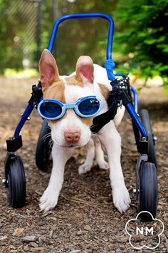 """Wheelchairs for Handicapped Dogs   Hand Built Quality by Ruff Rollin   """"Junior"""" Pitbull"""