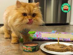 Luigi the Lion Cat and His Birthday Surprise