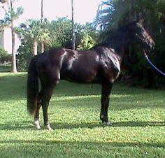Delightful TD | Dressage Horses For Sale | DressageMarket.com