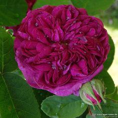 Rose de Resht (Damaszenerrose)