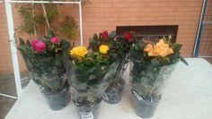 Le rose che desidero piantare nell'aiuola di destra