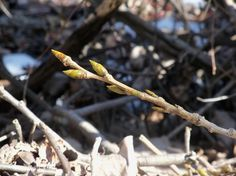 About Cottonwood Buds - from Plant Journeys. Infused in Coconut Oil, Salve, etc. Extract for Congested Lungs, etc.