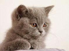 British Shorthair | Fond d'écran gratuit de chats British shorthair