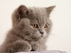 British Shorthair | Fond d'écran gratuit de chats British shorthair