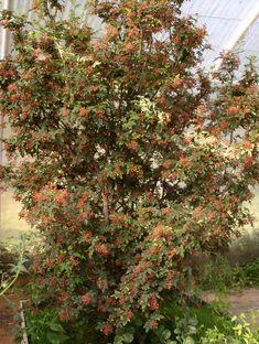 """Résultat de recherche d'images pour """"poivre de sichuan achat"""" Poivre De Sichuan, Images, Plants, Search, Plant, Planets"""