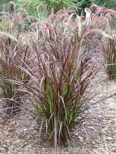 Red Fountain Grass ~ Florida Friendly Ornamental Grass ~ grows 3-4' tall. Full Sun for maximum colors