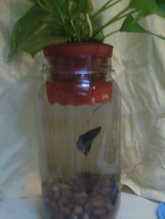 "Half gallon pickle jar + 4"" potted plant + 1 cup gravel + water + beta fish = little ecosystem. The plant cleans the water. Just top off water as needed. repurposed jar."