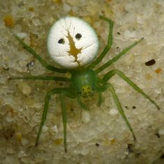 Araneus' transversus Rainbow - a genus of orb-weaver spiders Cool Insects, Types Of Insects, Bugs And Insects, Beautiful Bugs, Amazing Nature, Spider Species, Spider Light, Spiders And Snakes, Pictures Of Insects