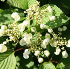Pretty lacecap-like flowers