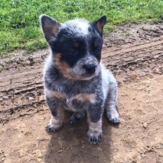 Little blue heeler puppy - soooo cute! Cute Puppies, Dogs And Puppies, Austrailian Cattle Dog, Baby Dogs, Beautiful Dogs, Cute Baby Animals, Blue Heelers, I Love Dogs, Cattle Dogs