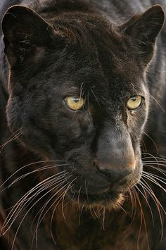 The Black panther is a rare, fearless, powerful and intelligent animal. It is one of the most aggressive and most feared animals in the world. The black panther is not a distinct animal species though. Nature Animals, Animals And Pets, Cute Animals, Wild Animals, Beautiful Cats, Animals Beautiful, Animals Amazing, Big Cats, Cats And Kittens