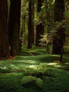 Forest Floor, The Redwoods, California - UNESCO World Heritage Site
