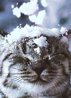 Do your cats like the snow? Some cats hate the snow but other cats have a lot of fun outside in the snow. These cats seem to be having a good time of it. Crazy Cat Lady, Crazy Cats, Cute Cats, Funny Cats, Illustration Photo, I Love Snow, Photo Chat, Beautiful Cats, Beautiful Creatures