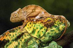 Maman et bébé caméléon