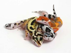 Just a few of the gorgeous color morphs a leopard gecko can come in. Leopard Gecko Cute, Leopard Gecko Morphs, Cute Gecko, Baby Leopard, Cute Reptiles, Reptiles And Amphibians, Mammals, Baby Animals, Funny Animals