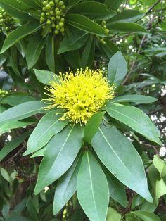 Golden Penda - first blossoms