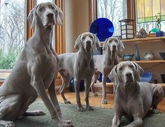 I thought TWO Weims were bad.  Not sure if I could take that much intensity trying to levitate me off the floor at meal times….