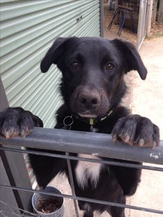 Meekah, my cute 10 month old borador puppy (border collie X labrador)