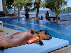 ----Harry in Bali. -Posted by: Amber Power @ Everybody Loves A Dachshund