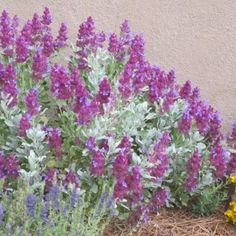 This High Country Gardens introduction, Salvia pachyphylla Mulberry Flambé (Mulberry Flambé Mojave Sage), has dark, mulberry-purple bracts and blue flowers held over pure silver, evergreen foliage. Low Water Landscaping, Landscaping Plants, Giant Flowers, Blue Flowers, Mixed Border, High Country Gardens, Sage Plant, Hummingbird Garden, Flowers