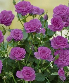 Another great find on #zulily! Mini Lavender Sunblaze Rose - Set of Six by Cottage Farms Direct #zulilyfinds