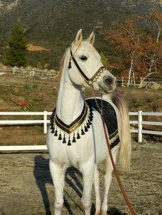 Arabian Horse Presentation Set Show Halter Breast Collar Blanket | eBay