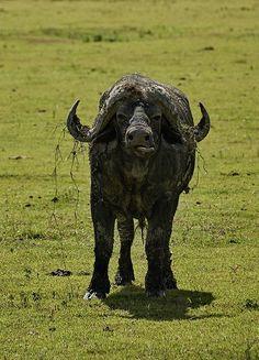 Checking.. African buffalo, Ngorongoro Crater Conservation Area, Tanzania
