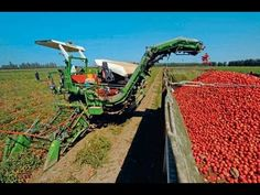 Harvesting & Storing Tomatoes