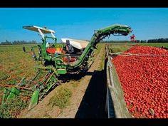 Harvesting & Storing Tomatoes
