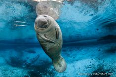 The Florida Manatee is a subspecies of the West Indian Manatee. Description from wetpixel.com. I searched for this on bing.com/images