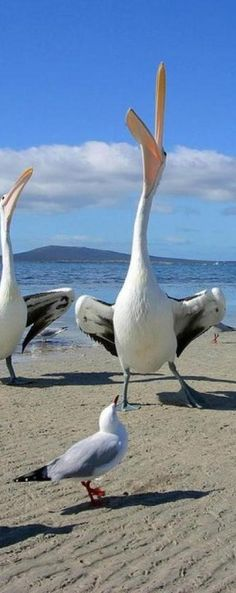 """Hungry Pelicans and Seagulls. Pelican says: """"I'm getting your catch of the day! See it's gone down my throat"""""""