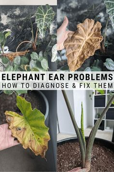 Elephant ear plant care guide: everything you need to know to grow colocasia, alocasia, caladium, and canthosoma #elephantear #colocasia #alocasia