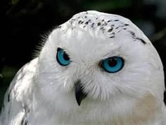 snow owl pictures - Bing Images