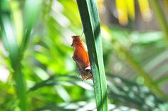 The birdwing chrysalis in profile.