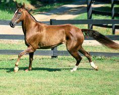Rocky Mountain Horse mare, Northfields Lady Pride.