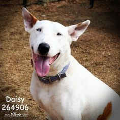 """01/17/16--Montgomery County Animal Shelter Texas FOSTER FEATURE: Miss Daisy is very AFFECTIONATE girl that came to us in early November and is currently in foster care. Her foster mom tells us she loves people and """"gets very attached, especially to females. She is very strong and would do well with older children. She does well with other dogs, too, as long as she can be the alpha dog! LOVES TO CUDDLE and play. Not sure how she is with cats."""" Check out more photos of this go"""