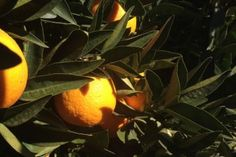 Disease would devastate Australian citrus industry