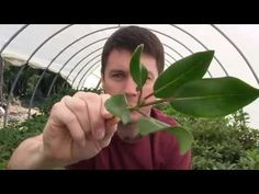 How to Propagate Rhododendrons with a Nearing Frame; Taking Cuttings in ...