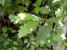 Sentir con Flores de Bach: Oak